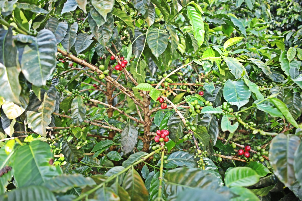 Ripe coffee beans (cherries), Finca El Ocaso