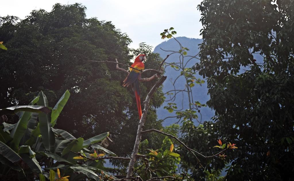 Macaw, Cuidad Perdida Trek