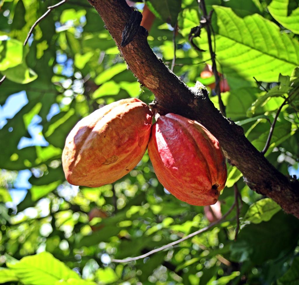 Cocoa buds, Cuidad Perdida Trek
