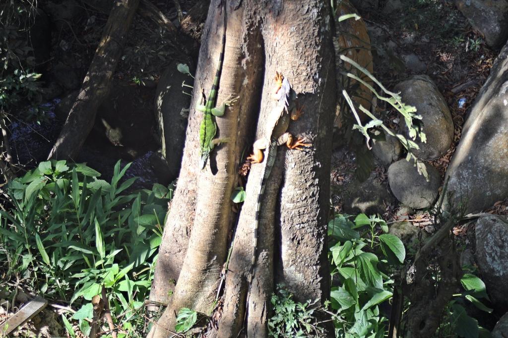 Iguanas, Minca