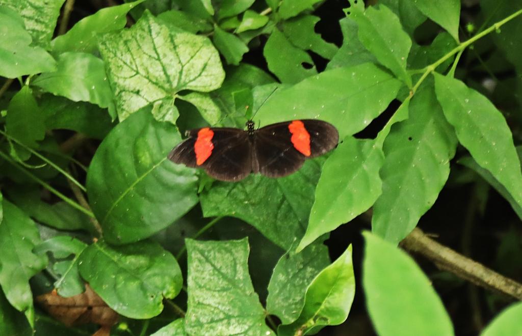 Butterfly, Tayrona Park