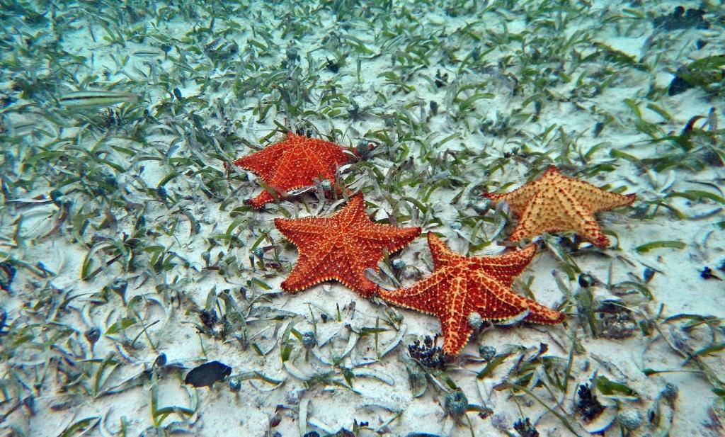 Star fish, San Blas