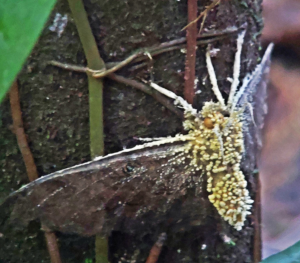 Fungus infected moth, Manuel Antonio National Park