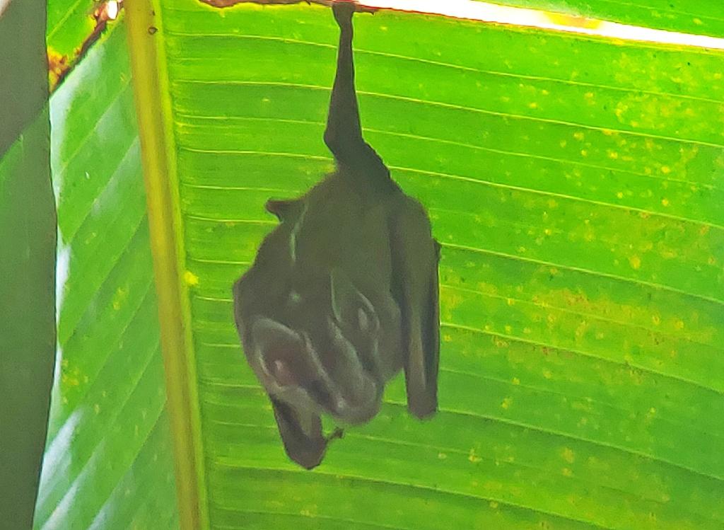 Fruit bat hanging on a palm leaf, Manuel Antonio National Park