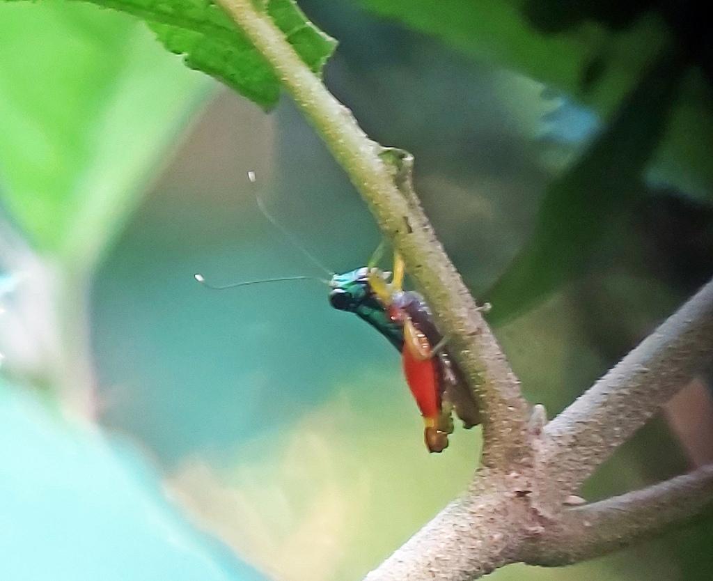 Colourful cricket, Manuel Antonio National Park