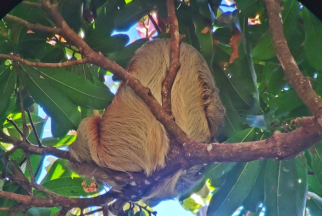 Two-Toed Sloth, Manuel Antonio National Park