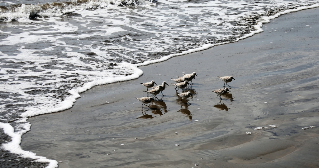 Shorebirds, Ballena National Marine Park