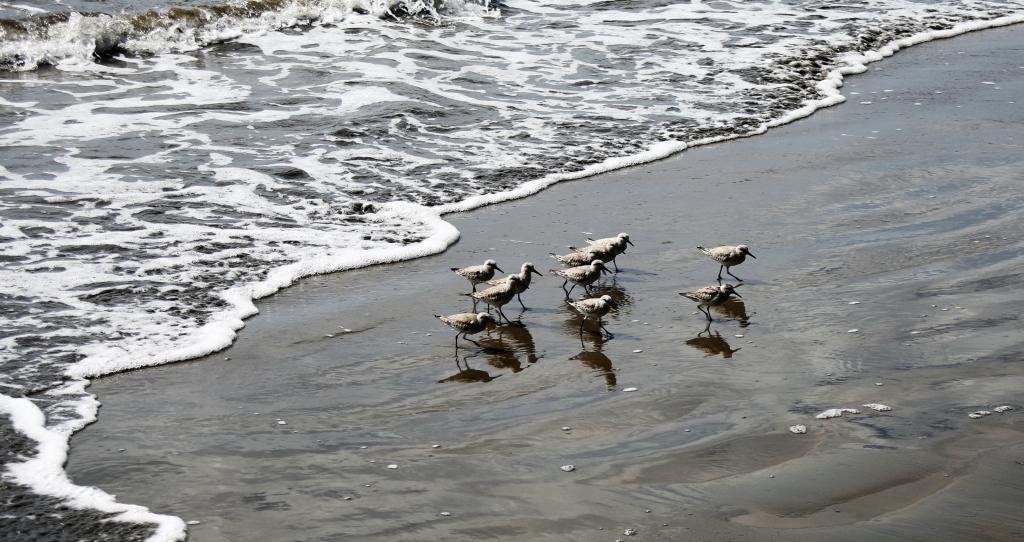 Shorebirds, Ballena National Marine Park