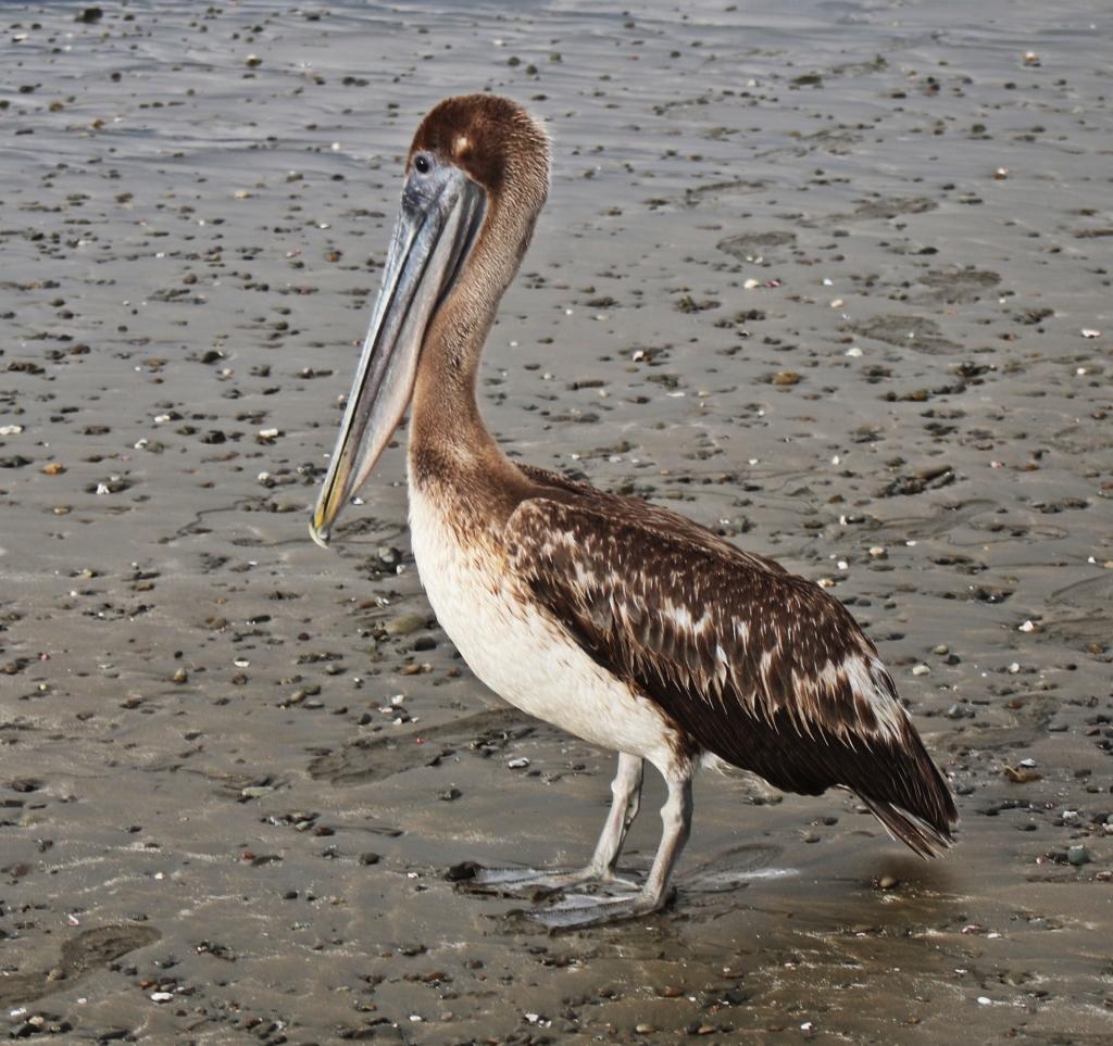 Pelican, Ballena National Marine Park