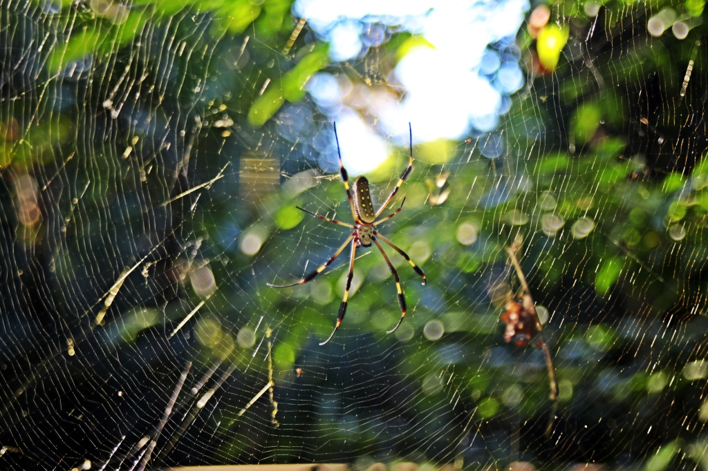 Golden Silk Orb-Weaver Spider, Manuel Antonio National Park