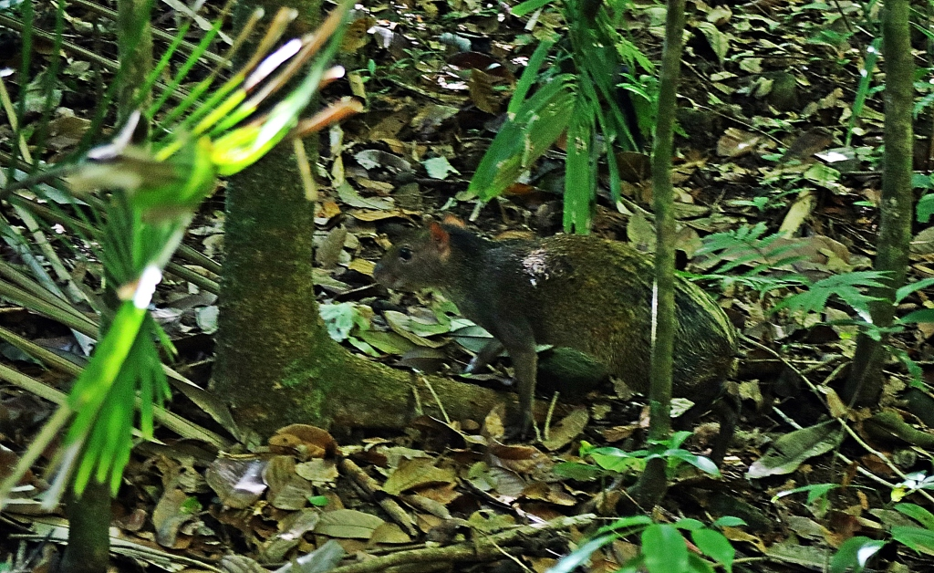 Agouti, Manuel Antonio National Park