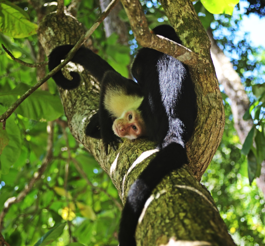 Capuchin Monkeys, Manuel Antonio National Park