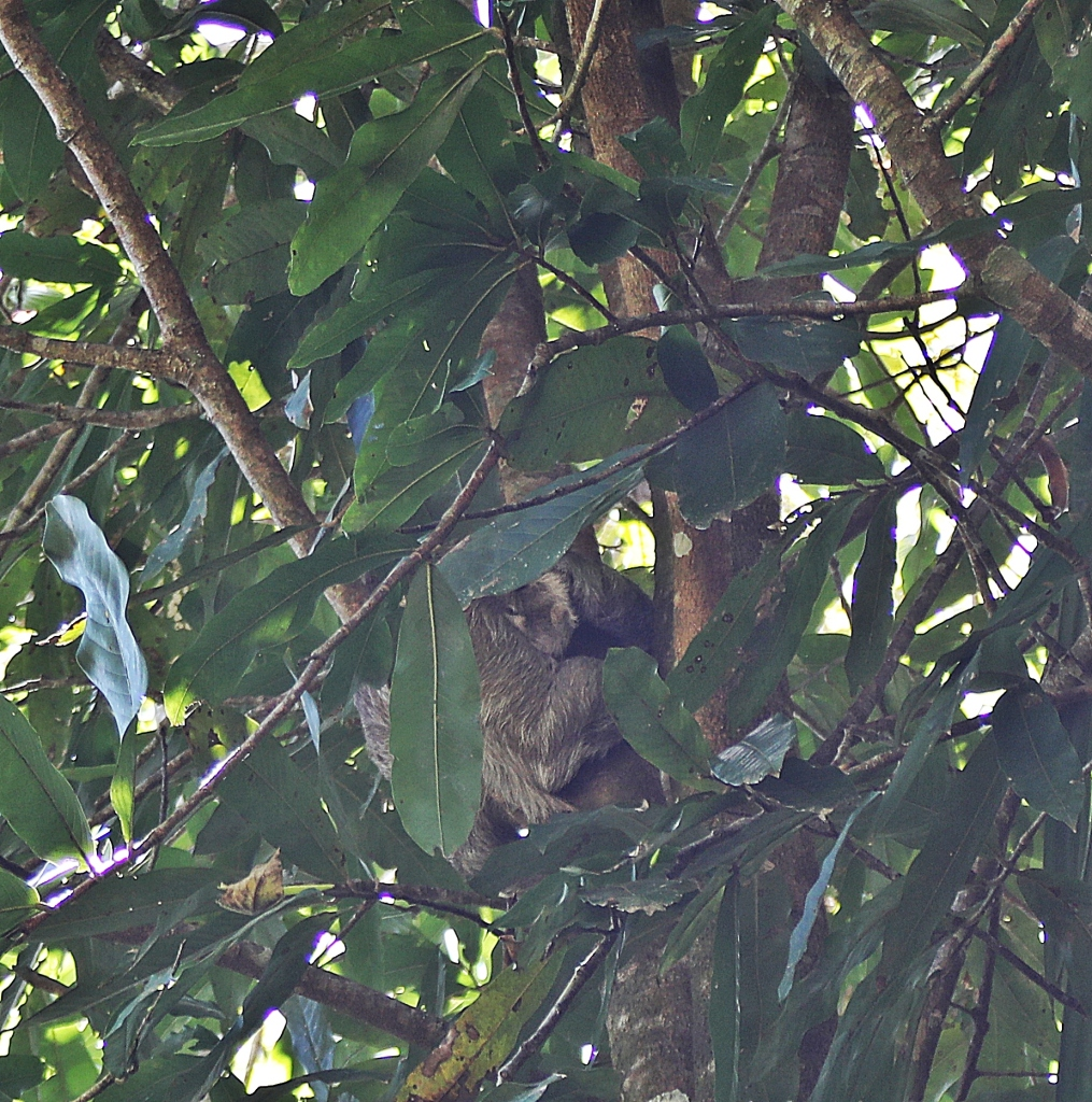 Two-Toed Sloth with baby, Manuel Antonio National Park