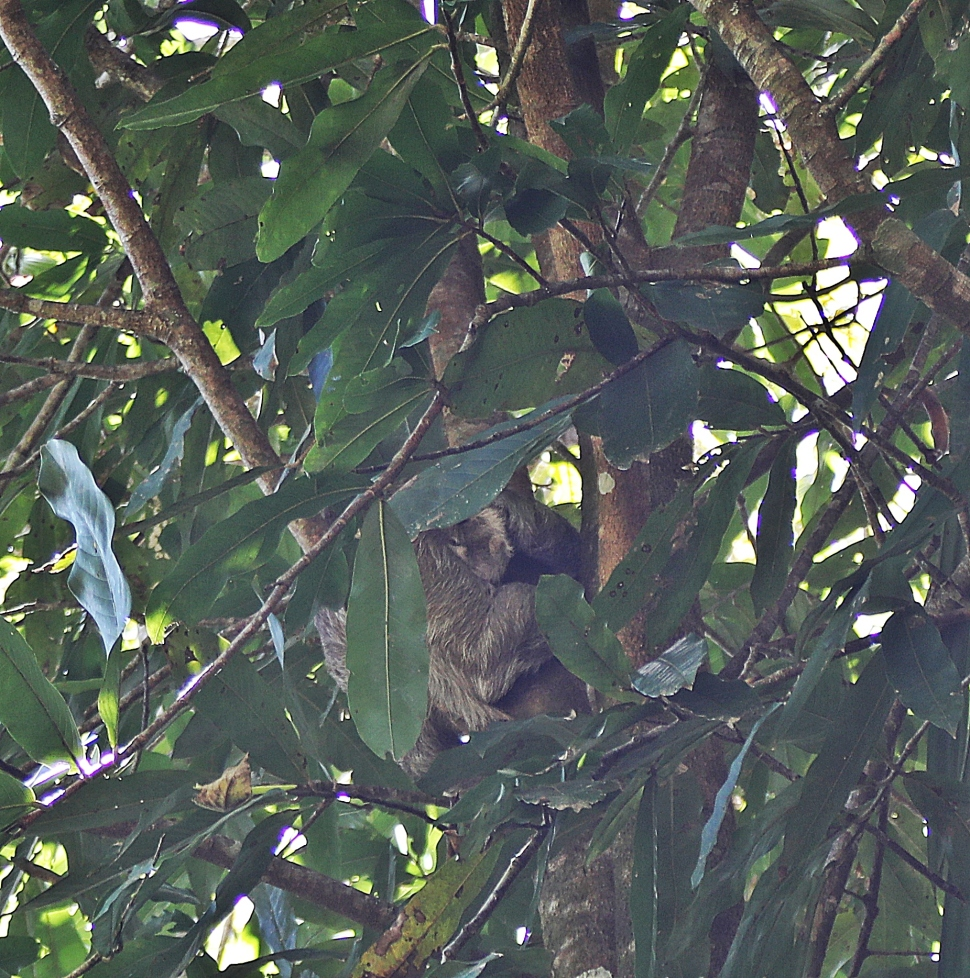 Three-Toed Sloth with baby, Manuel Antonio National Park