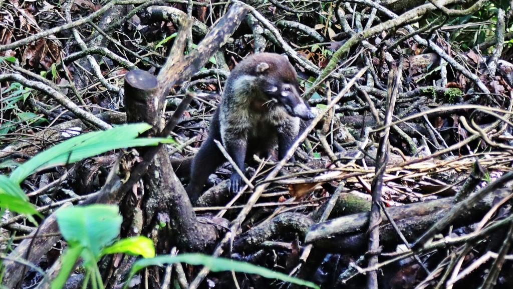 White-nosed Coati, Costa Rica