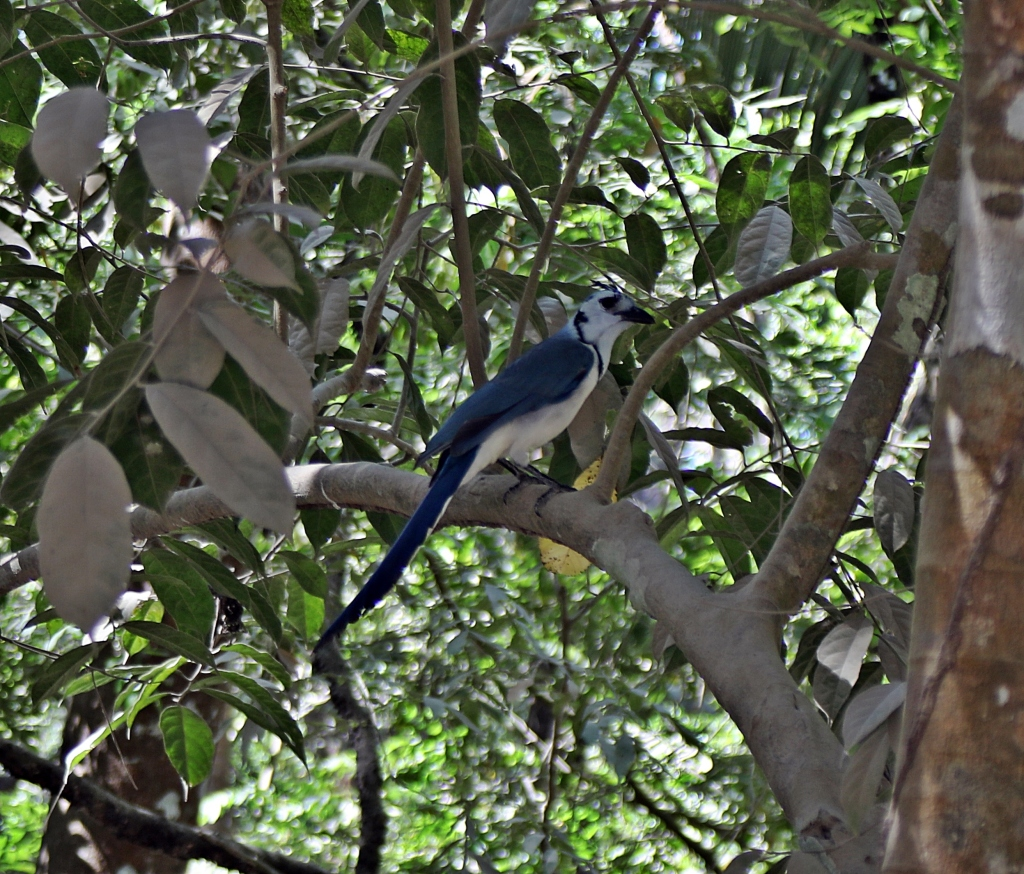 White-­Throated Magpie-­Jay, Santa Teresa Beach