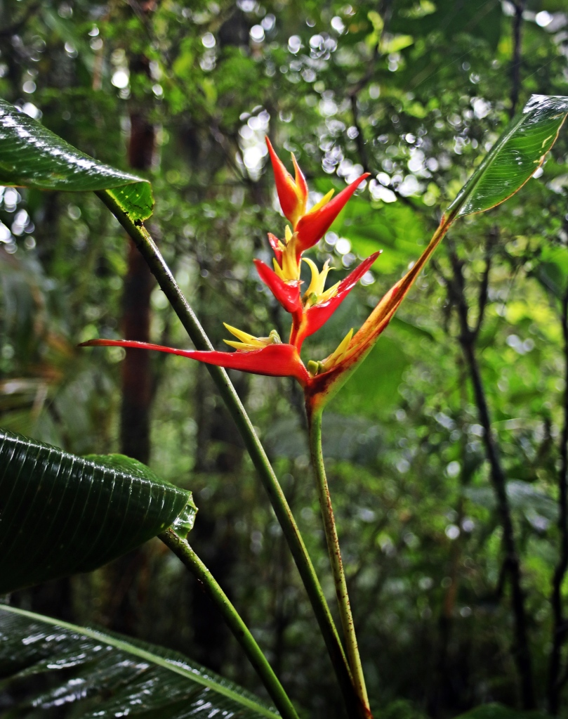 False Bird of Paradise flower, Santa Elena Cloud Forest Reserve