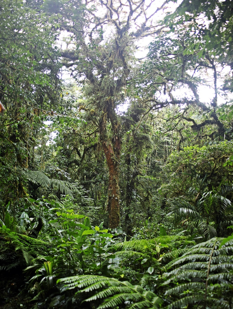 Dense vegetation, Santa Elena Cloud Forest Reserve
