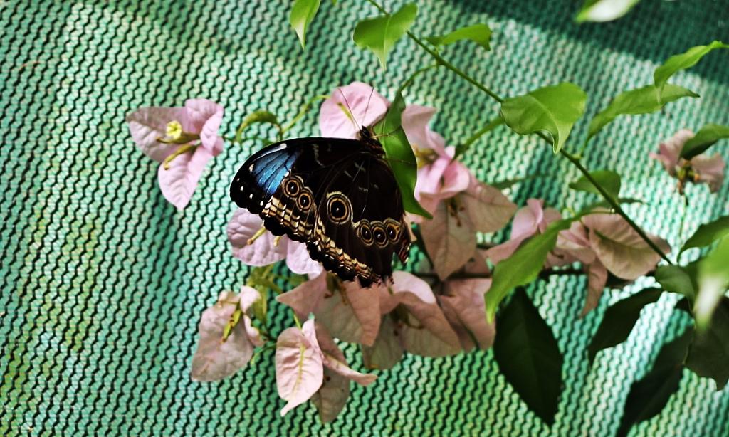 Blue Morpho butterfly, Monteverde Butterfly Gardens