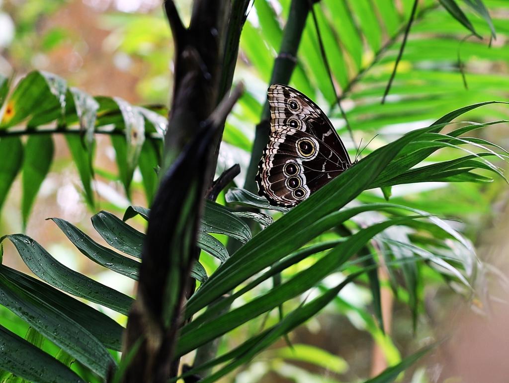 Blue Morpho, Monteverde Butterfly Gardens