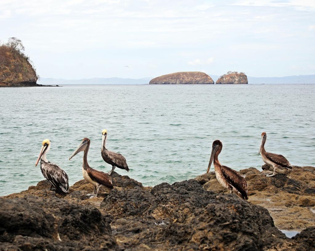 Pelicans, Coco Beach, Costa Rica