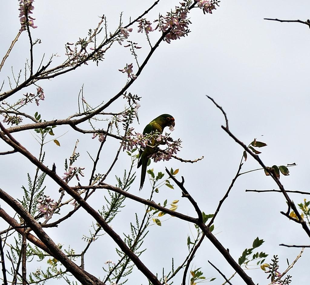 Parakeet, Coco Beach, Costa Rica