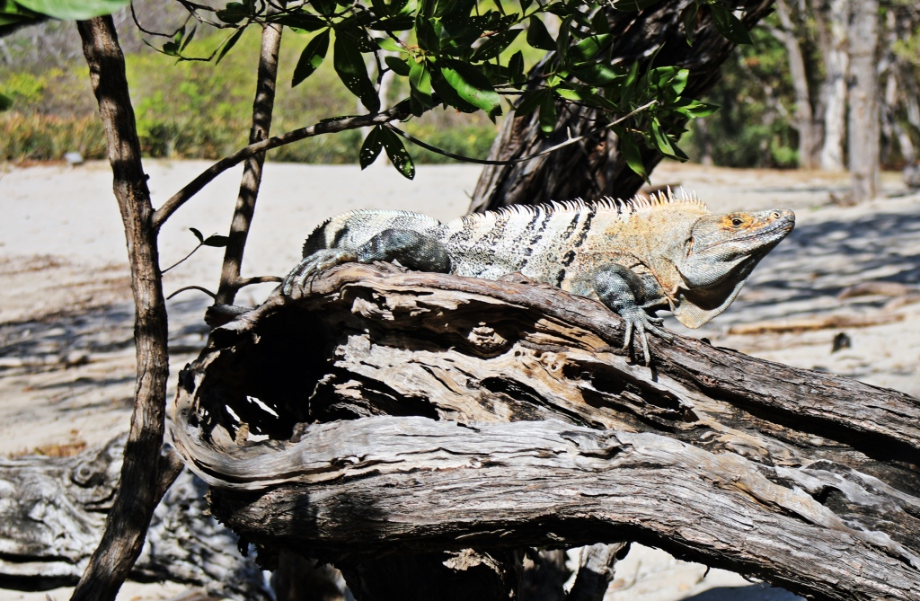 Iguana, Parque Nacional Marino Las Baulas
