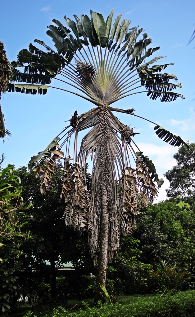 interesting palm, La Fortuna