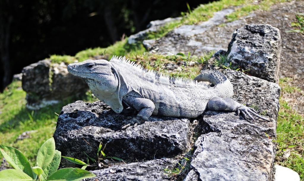 Iguana, Xunantunich