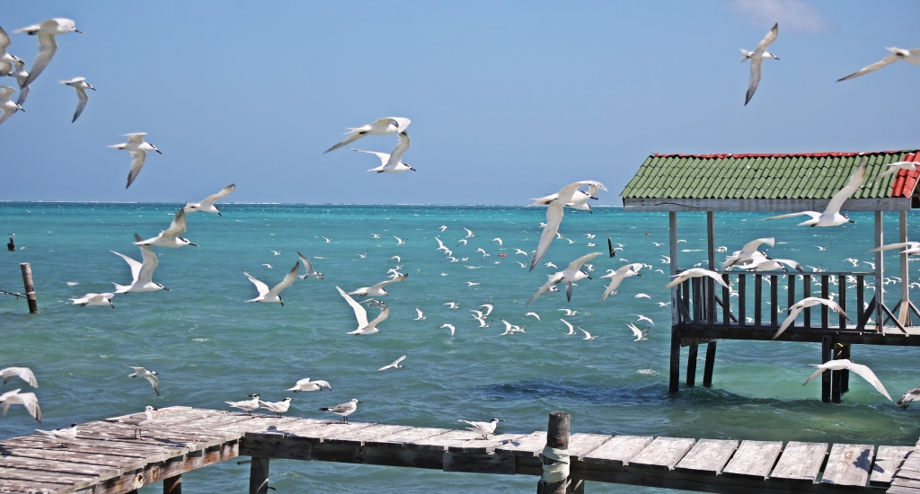 Sea gulls, Caye Caulker