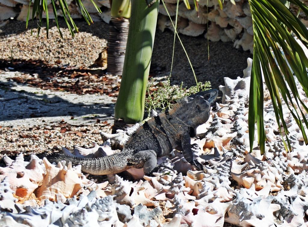 Iguana, Caye Caulker