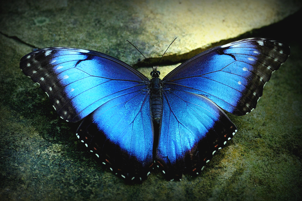 Blue Morpho Butterfly, sourced from internet