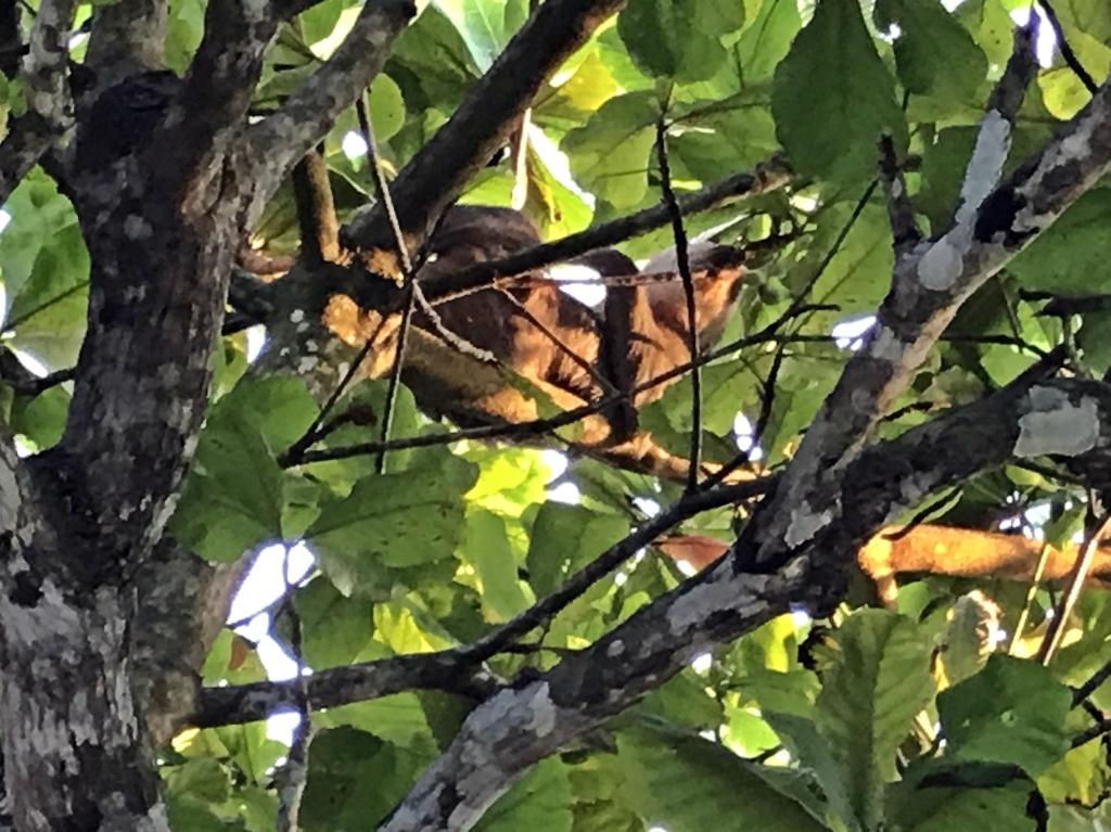 Sloth, Matapalo