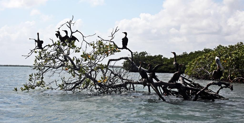 Mangroves, Belize