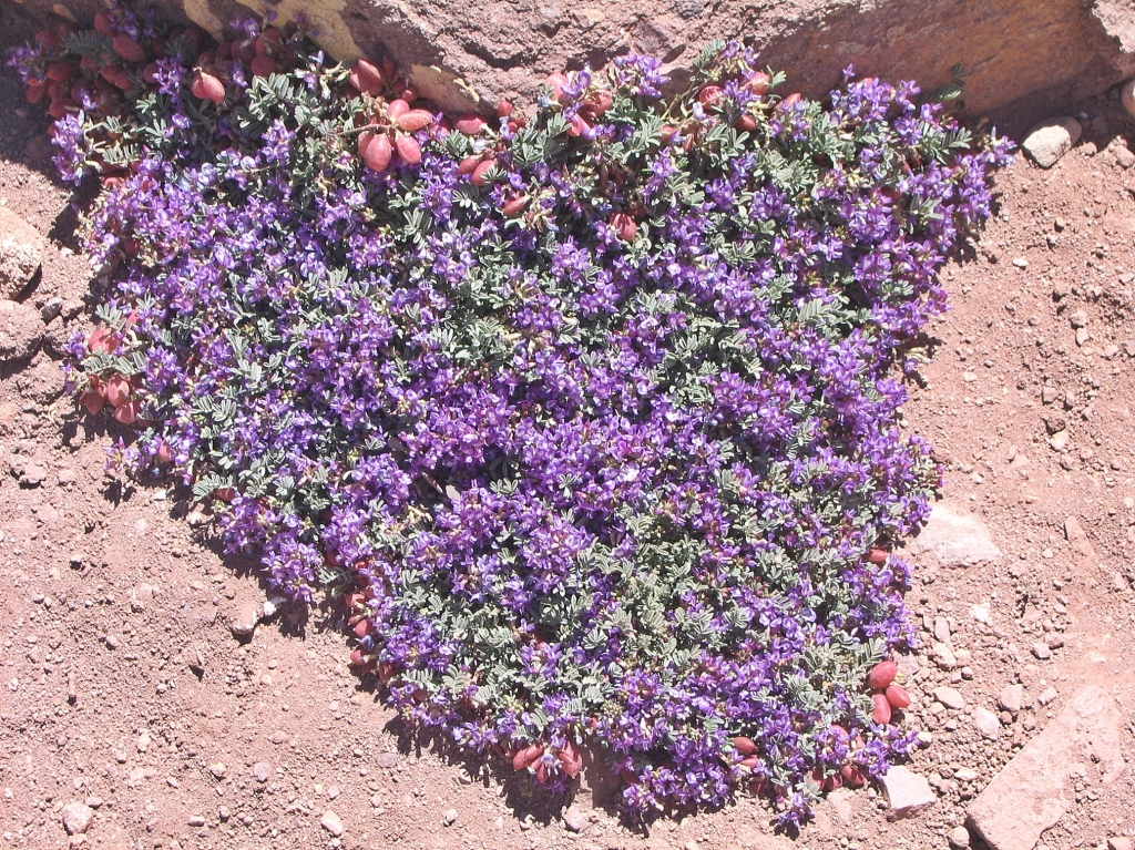 Flowers in red soil, Aconcagua climb