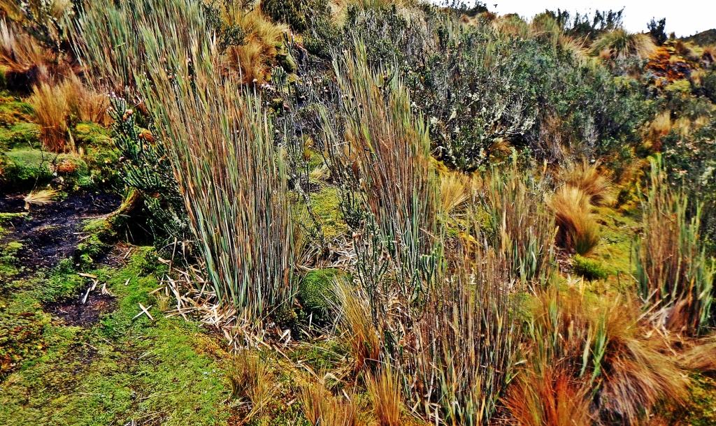 Vegetation, El Cajas, Ecuador