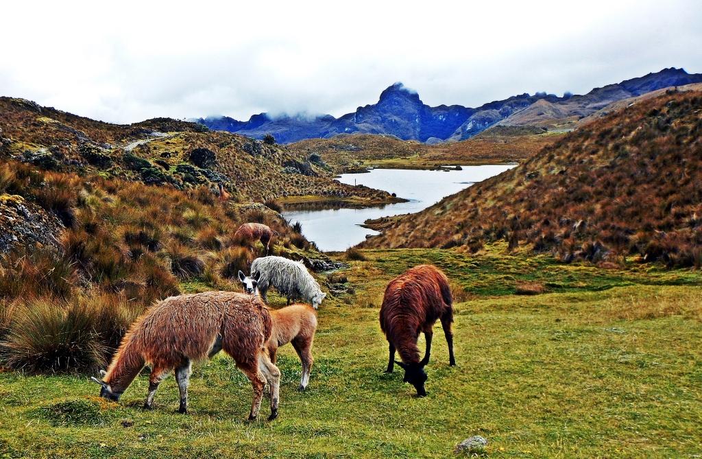 Llamas, El Cajas, Ecuador