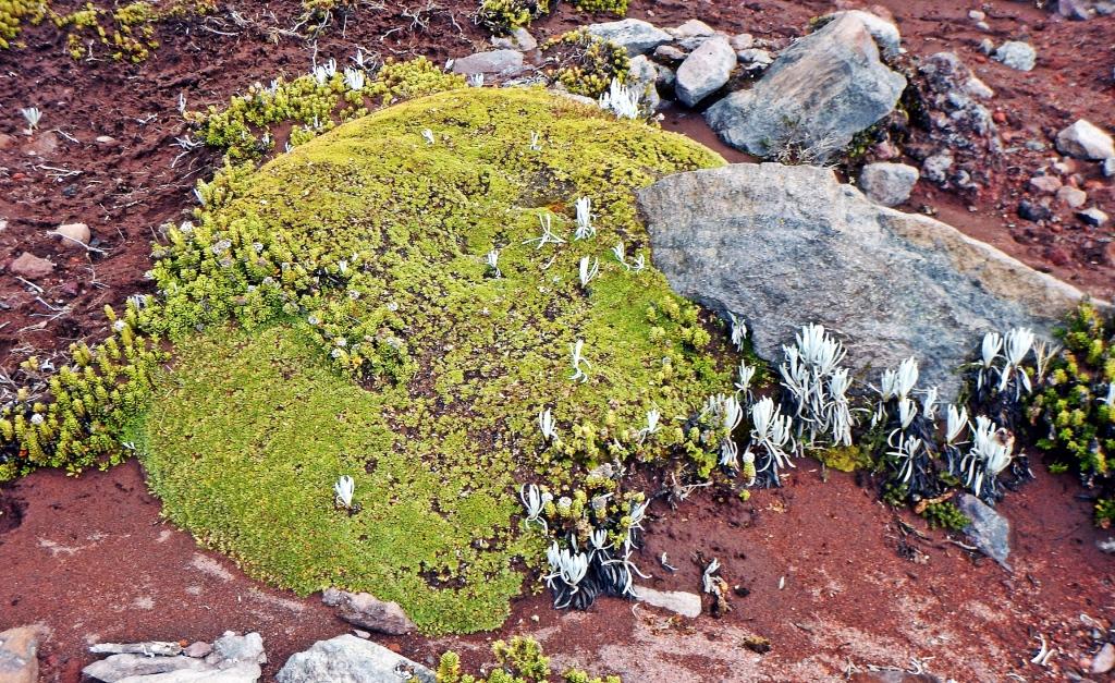 Vegetation, Mount Chimborazo, Ecuador