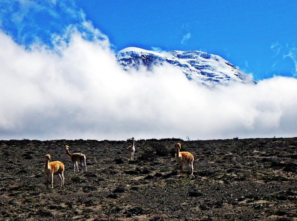 Vicunas, Mount Chimborazo, Ecuador