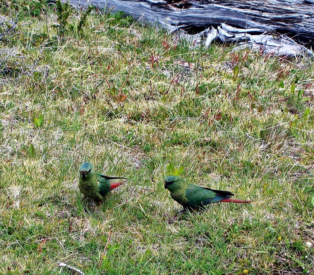 Patagonian Parakeet, Parque Nacional Glaciares