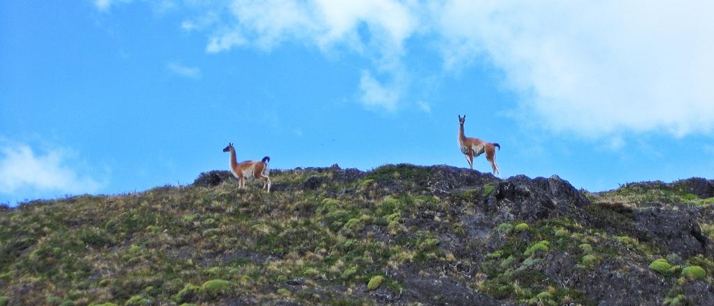 Guanacos, Torres del Paine