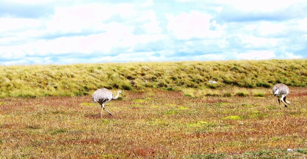 Lesser Rheas, Torres del Paine