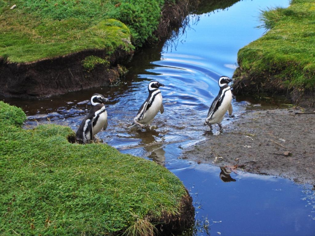 Magellanic penguins, Otway Sound