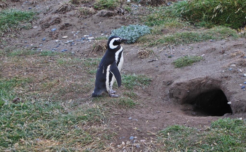 Magellanic penguin and nest, Otway Sound