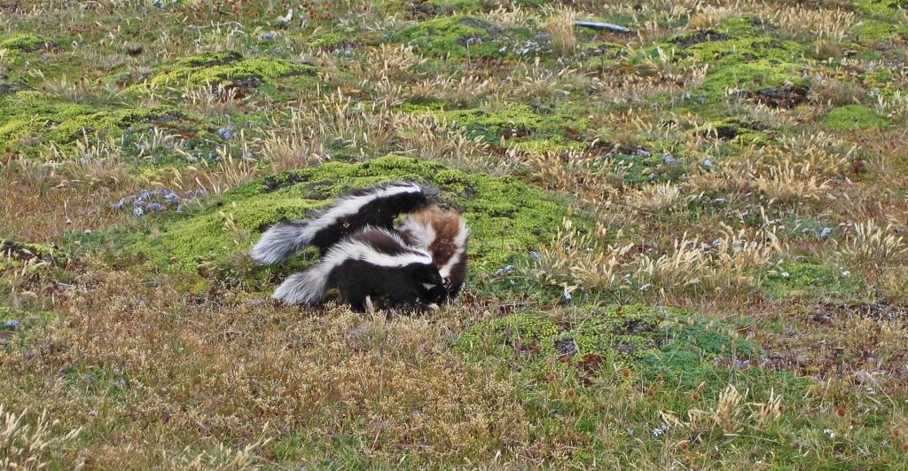 Skunks, Otway Sound