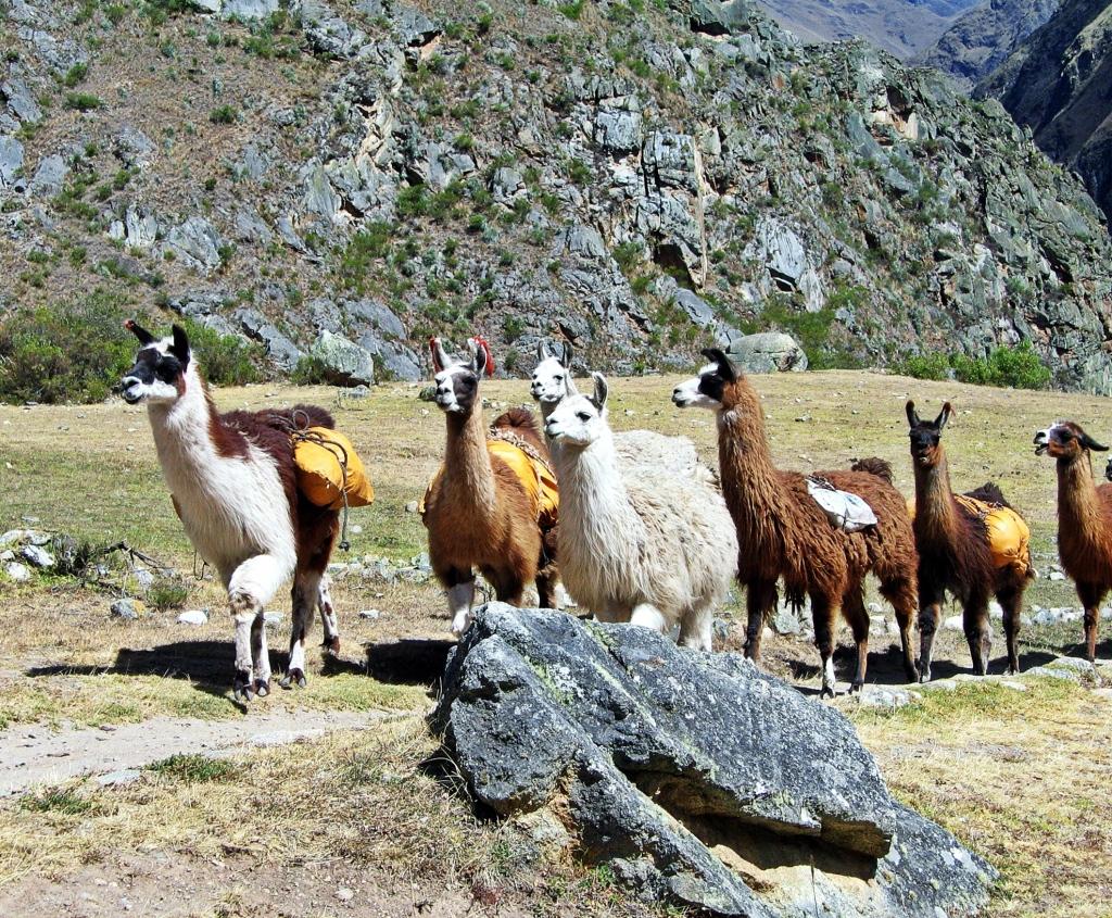 Llamas, Inca Trail