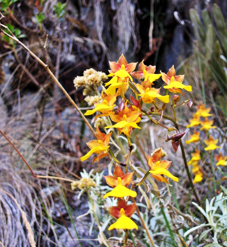 Yellow Orchid, Inca Trail