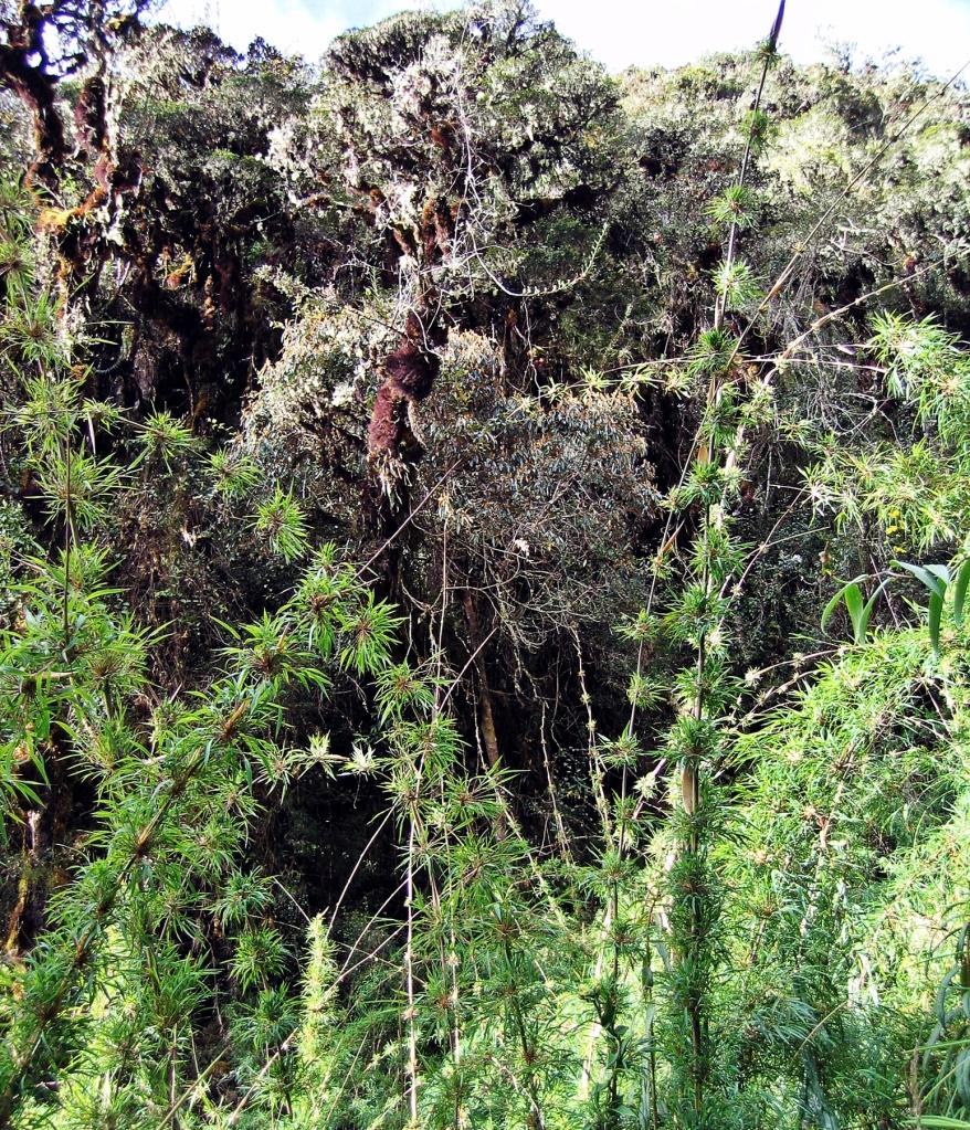 Bamboo, Inca Trail