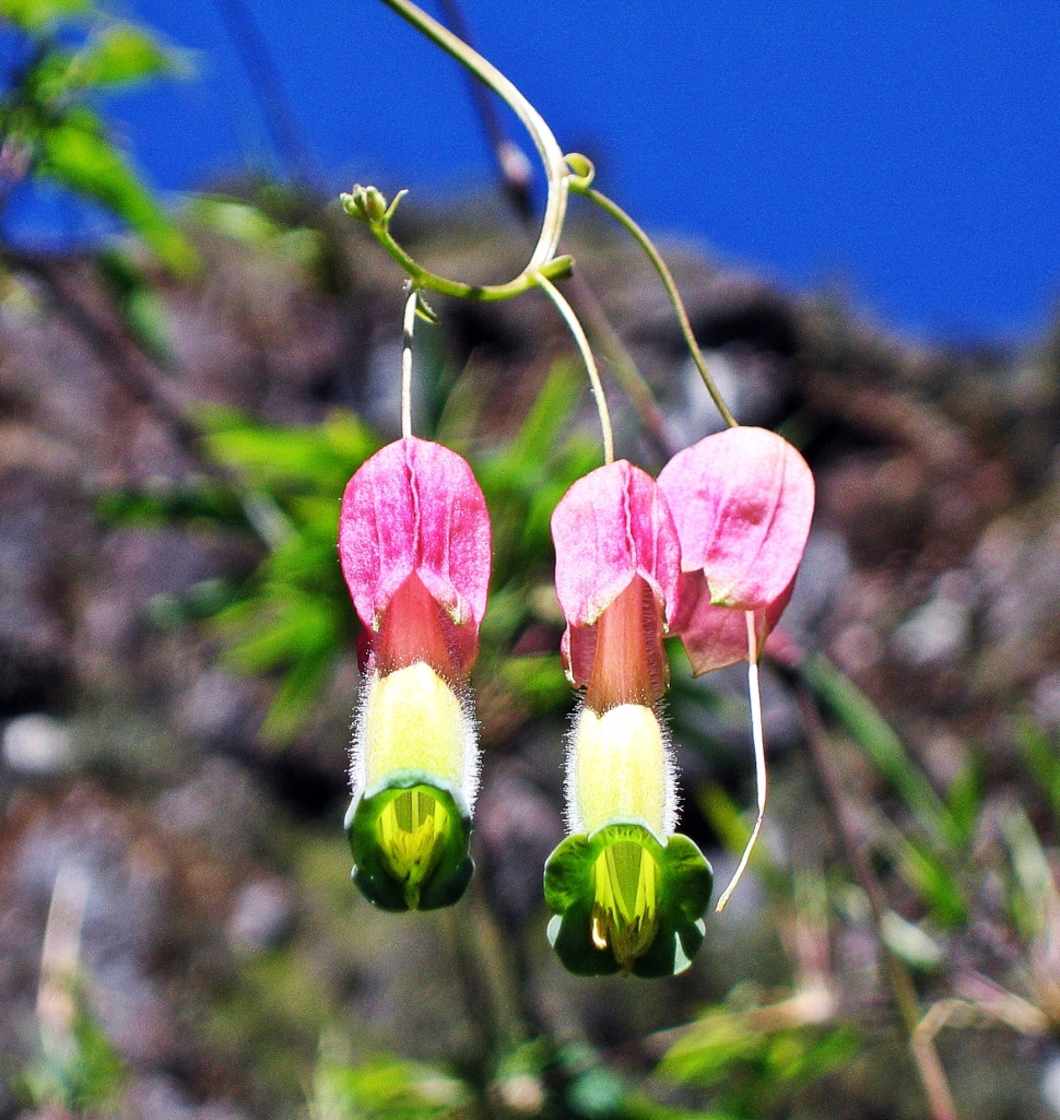 Flower, Inca Trail