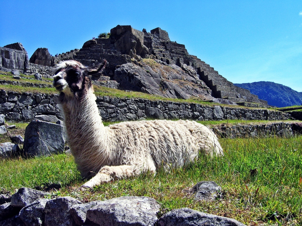 Llama in courtyard, Machu Picchu
